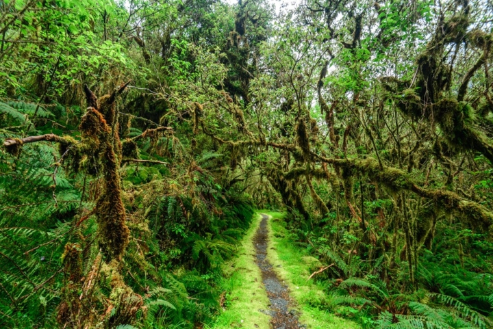 Path on Milford Track, with tropical vegetation, foam everywhere and an incredible green color. Looks like an enchanted forest - New Zealand